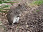The long nosed potoroo.