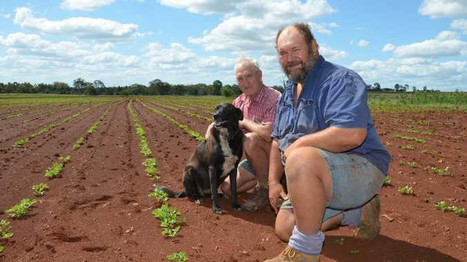 GOOD START: Peanut farmers Tom and Kev Liesegang are waiting for rain to stop before completing their planting. Photo Barclay White / South Burnett Times