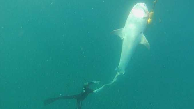 This photo of a shark hooked by a traditional drum line off the Sunshine Coast was taken by Noosa resident Bronte Wootton. Photo Contributed