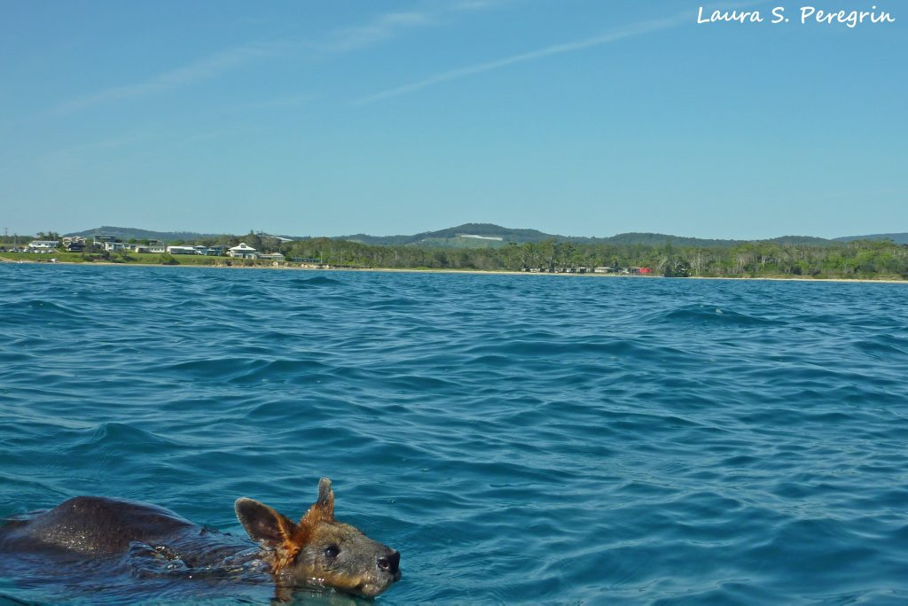 Southern Cross University marine science students rescue a swamp wallaby found swimming about a kilometre off Arrawarra Beach.