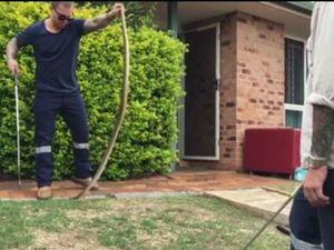 Brave catcher wrangles brown snake