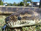 Carpet python, non-venomous