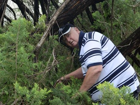 CLEAN-UP AHEAD: Barry Dobbs inspects the tree which fell down in Kingaroy during Friday afternoon's storms.