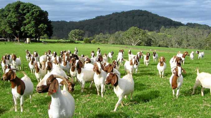 BLEATING SUCCESS: The Dorrigo farm specialises in producing capretto and chevon boer goats.