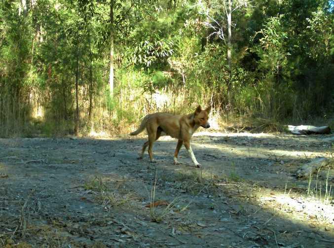 PEST PROGRAM: Wild dog surveillance has identified roaming packs in the Bucca area.