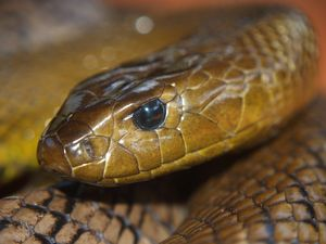Three vital steps for treating a snake bite