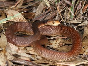 Coastal taipan strikes at Snakes Down Under