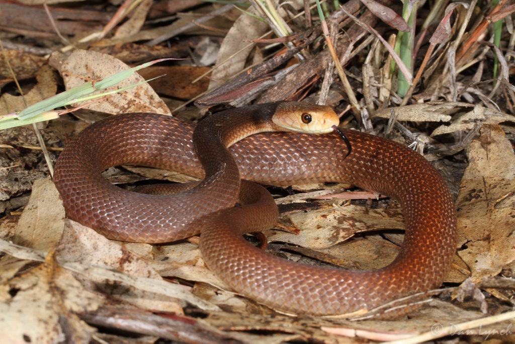 Coastal Taipan - Dan Lynch