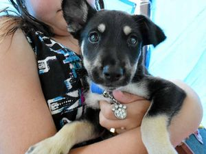 A BIT RUFF: A litter of five husky-kelpie cross pups was surrendered with their parents to the Gladstone Pound.