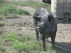 Freckle Farm's black pigs were a big hit with everyone on the farm tour.