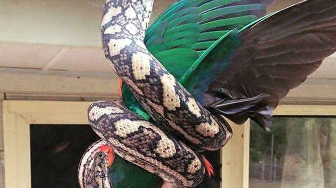 The moment a carpet python swallowed a wild king parrot at an Agnes Water home. Contributed.