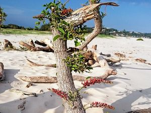 Weed control reminder as coral trees grow on the coast