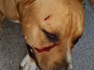 Puppy in Sydney stabbed in both eyes during burglary