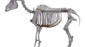 The skeleton of Phar Lap at the Museum of New Zealand Te Papa Tongarewa in Wellington.