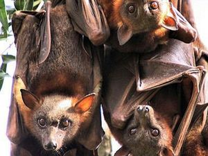 Somerset to remove millions of flying fox roosts