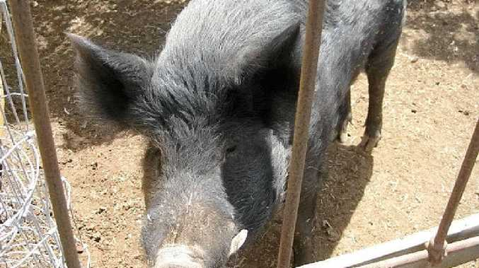 FLYING HIGH: The marijuana eating feral pig found by police on a Meringandan West farm can stay on the property if its owner can acquire the relevant permit by January 22.