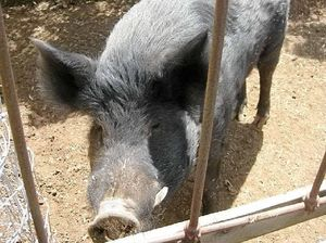 POT ROAST? Man busted feeding marijuana to feral pig