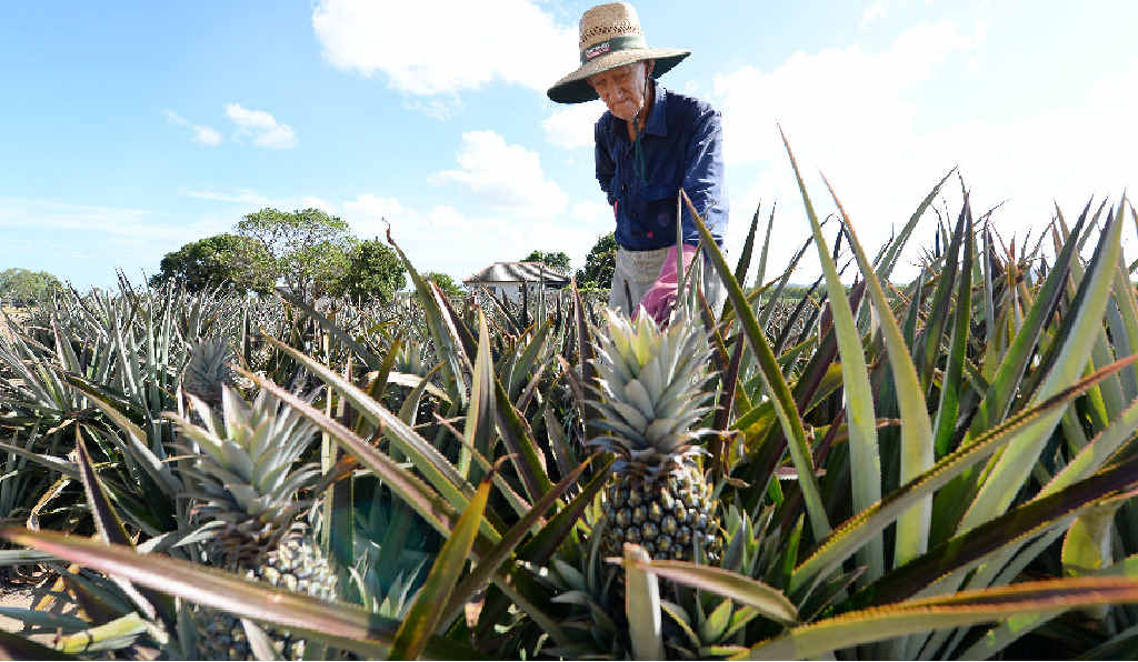 DRY CONDITIONS: Bucasia pineapple farmer Raymond Jenvey is hoping for rain sooner rather than later after a dry year for farmers.