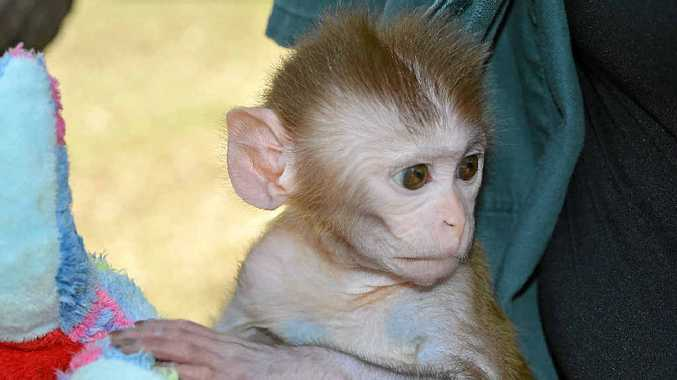IN CARE: Ronnie the baby rhesus macaque being hand-raised at the Darling Downs Zoo.