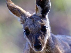 Cop shoots wallaby six times in front of young family