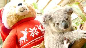 Bon Bon the Christmas koala joey is celebrating his first birthday with friends Tim Tam, Lamington and his favourite trainer Mandji from the Rainforestation Nature Park in Kuranda