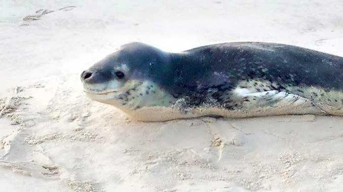 Antarctic Leopard Seal, named