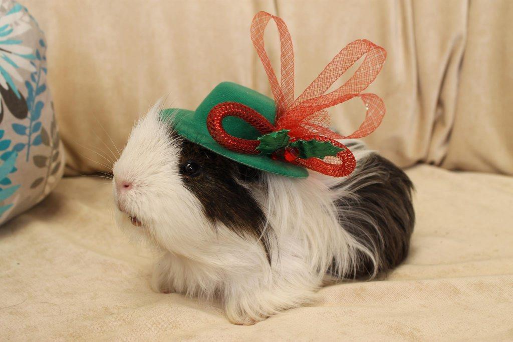 My grandsons pet Mr Piggy got into the spirit of Xmas: Leslee Bailey