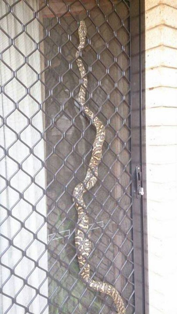 This carpet python was found in a Kearneys Spring home. Photo Contributed