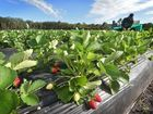 Hold onto your punnets: $8m farm hits the market
