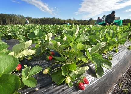 Strawberries are a great fruit to grow in the cooler months.