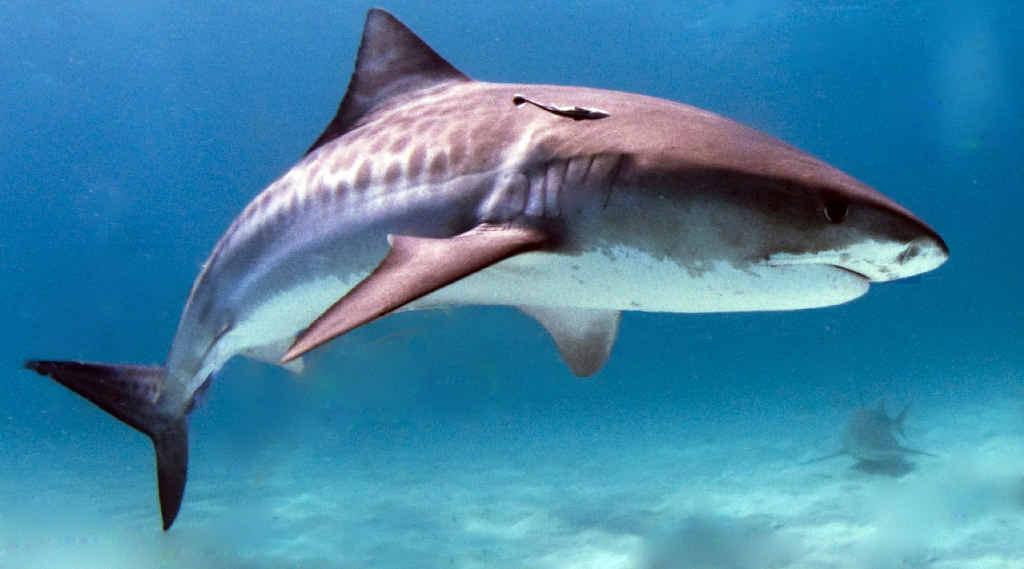Sea Shepherd calling for rethink on shark nets
