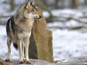 Hunters begin mass slaughter of wolves