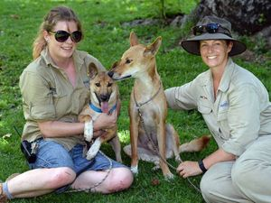 VIDEO: Pup saved and sent over to Rockhampton Zoo