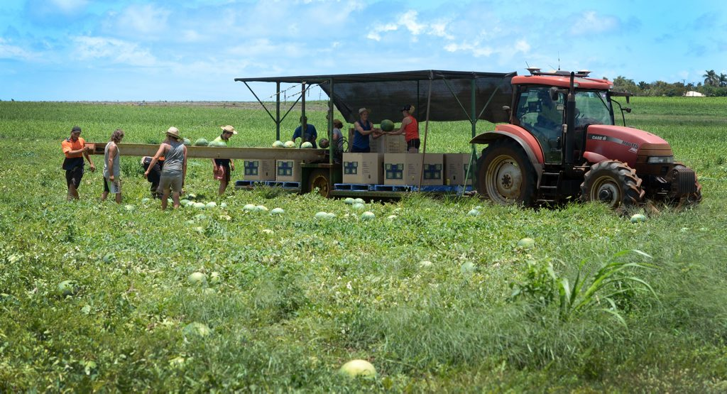 RURAL IMAGES: Watermelon harvesting along Bargara Road near the Hummock. Photo: Mike Knott / NewsMail