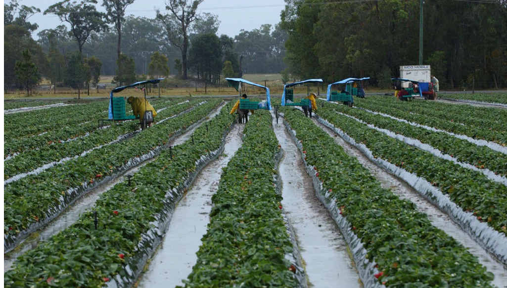 WORKERS WANTED: Up to 160 pickers and packers are employed at the Elimbah strawberry farm at the peak of the season.