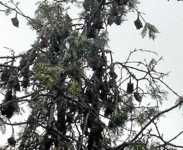 WHATCHA GUANO DO: Jandowae residents say the bat problem has reached 'plague proportions'.