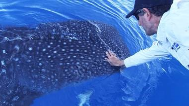 The whale shark comes close enough for a pat.