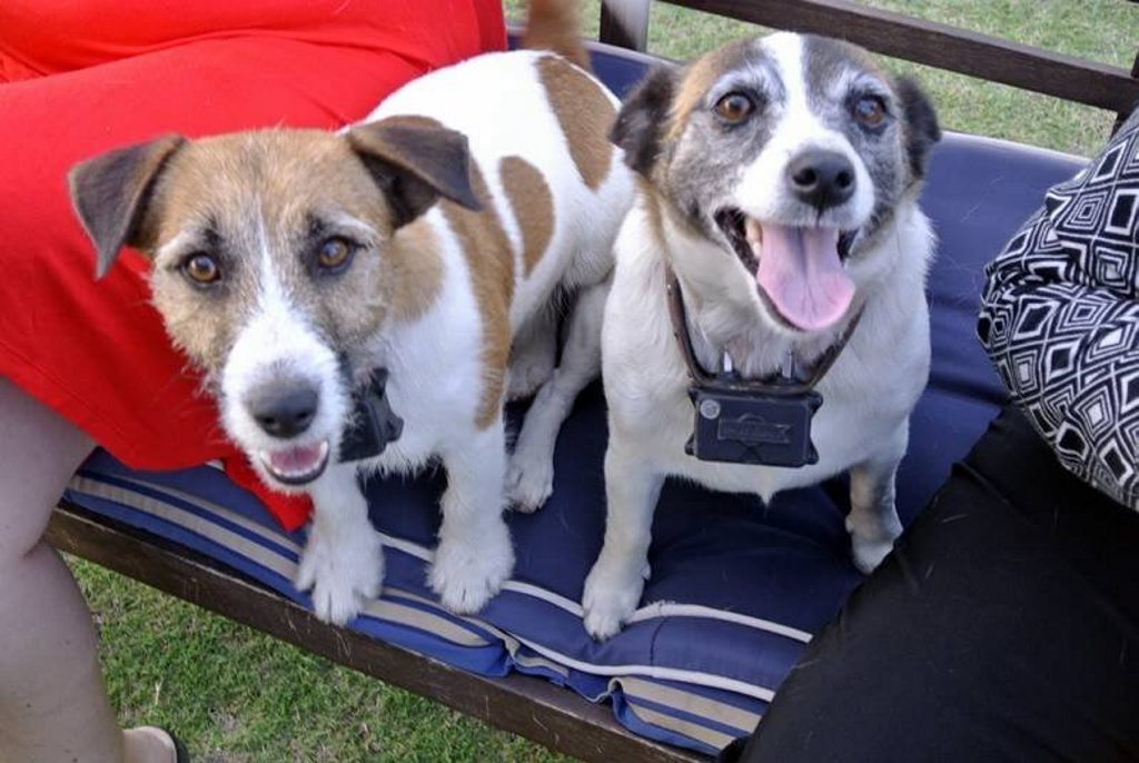 Sonya Richardson's purebred jack russels Jacko and Roxy have been missing since December 12. Photo Contributed