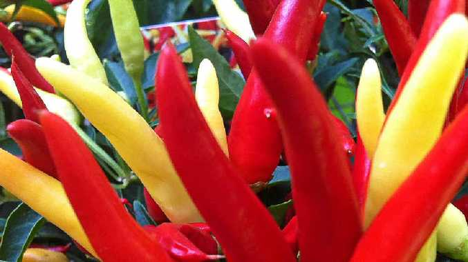 Chillies vary greatly according to variety, from very mild to very hot.