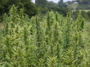 Mayoral candidate wants hemp farm to replace sport precinct