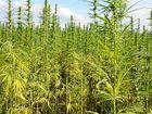 Would a hemp farm be better than a sport precinct?