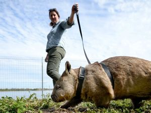 Wombat perspective photo highlight of year for photographer