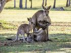 "The ugly truth about that ""grieving roo"" photograph"