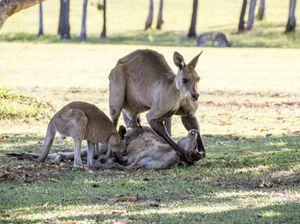 River Heads kangaroos
