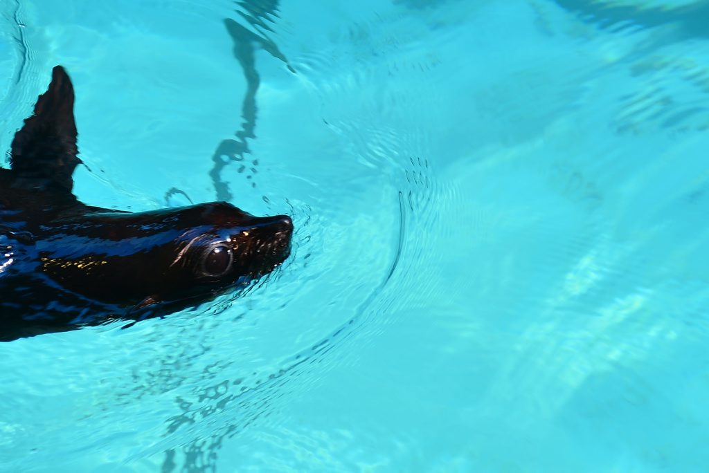 Moana, the 12 month old seal pup at SeaLife in Mooloolaba.