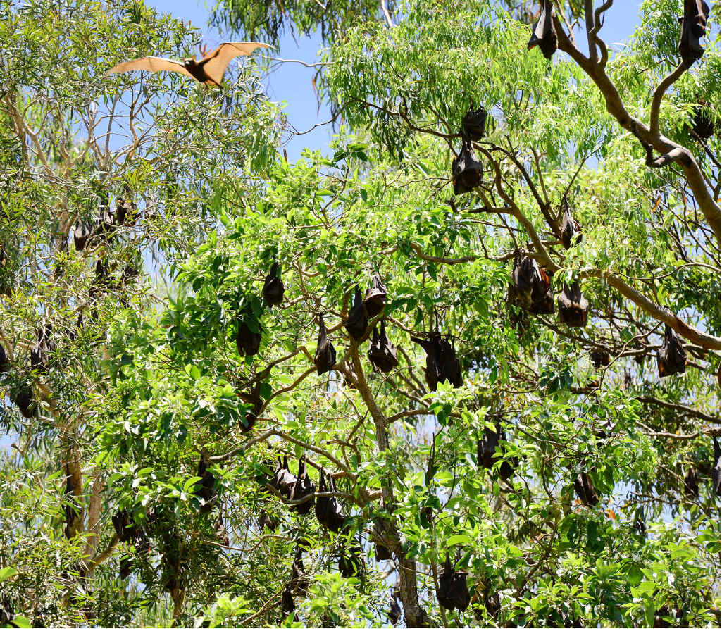 GET RID OF THEM: Camira residents would like to see a large colony of Flying Foxes culled or moved on.