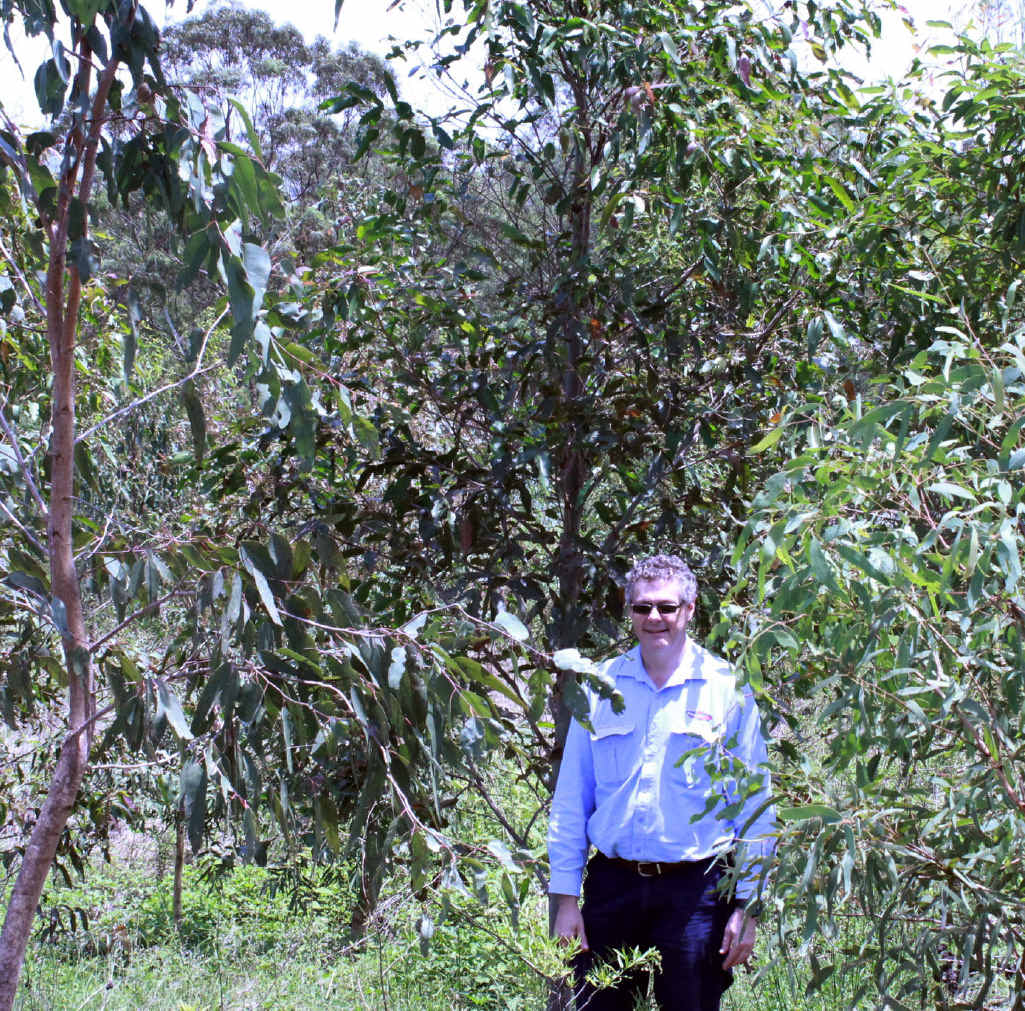 THRIVING: Powerlink Environmental Strategist Chris Delamont inspects what were saplings in 2014 (inset) under the $1 million Grandchester Koala Offset Project.