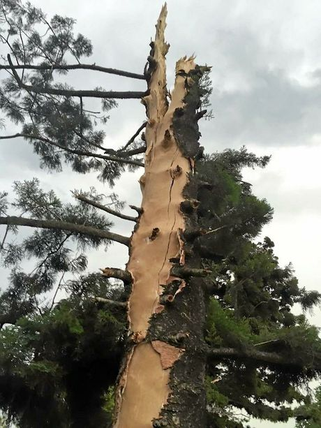 The tree hit by lightning at Old Bonalbo yesterday.
