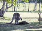 """Grieving kangaroo"" photographs go viral worldwide"