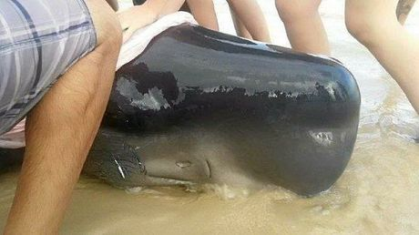 A sperm whale which was stranded at Casuarina Beach later died. Photo: Lisa McMullen / ORRCA